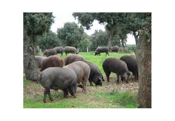 El cerdo ibérico un animal sin desperdicio